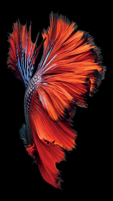 iPhone-6s-Pez-Rojo-Fondo de pantalla